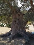 Olive Tree, Sicily